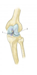 LIGAMENT 1